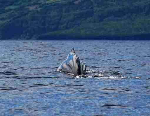 Baleias nos Açores Ilha do Pico, Foto Henry Simões - Up2Pico